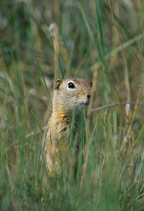 Wyoming Ground Squirrel-232101