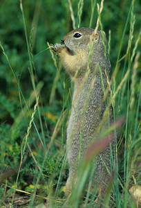 Wyoming Ground Squirrel-232103