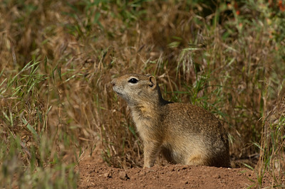 Wyoming Ground Squirrel-2595