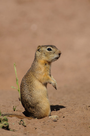 Wyoming Ground Squirrel-0033