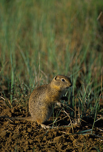 Wyoming Ground Squirrel-232098