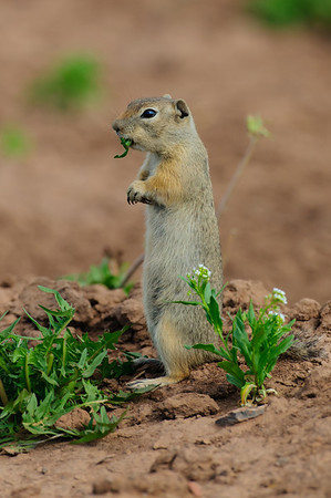 Wyoming Ground Squirrel-0043