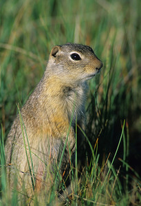 Wyoming Ground Squirrel-7438