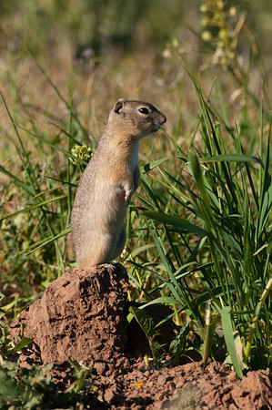 Wyoming Ground Squirrel-9958