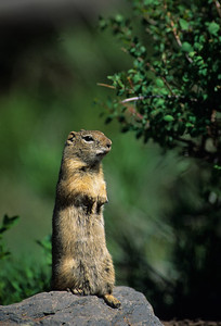 Wyoming Ground Squirrel-232095