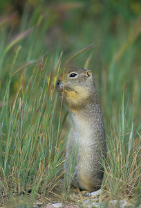 Wyoming Ground Squirrel-232102