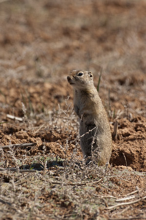 Wyoming Ground Squirrel-1417