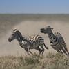 Zebra Dust Storm
