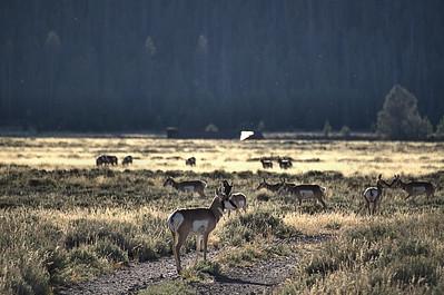 Antilocapra americana - Pronghorn Antelope