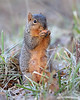 WL-028: Fox Squirrel