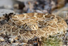 WL-037: Western Diamond-backed Rattlesnake - Taken in Oklahoma