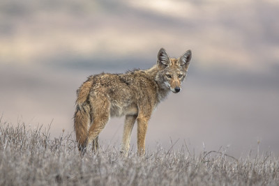 Coyote pup, Point Reyes National Seashore
