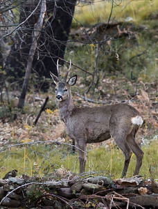 The European roe deer (Capreolus capreolus) is relatively small, reddish and grey-brown, and well-adapted to cold environments. It is a relatively small deer, with a body length of 95–135 cm, a shoulder height of 65–75 cm, and a weight of 15–35 kg. It has rather short, erect antlers and a reddish body with a grey face. Its hide is golden red in summer, darkening to brown or even black in winter, with lighter undersides and a white rump patch; the tail is very short (2–3 cm), and barely visible. Only the males have antlers.