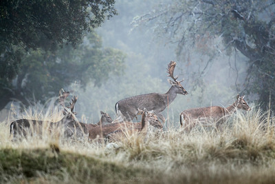 Fallow Deer under the fog