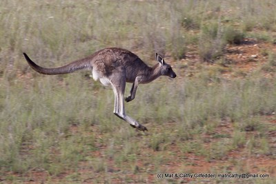 Eastern Grey Kangaroo 2100