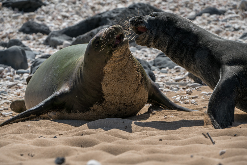 Fighting  Hawaiian monk seals