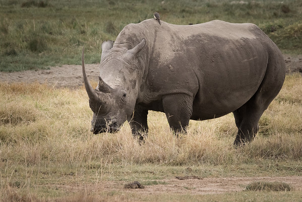 Big Momma White Rhino