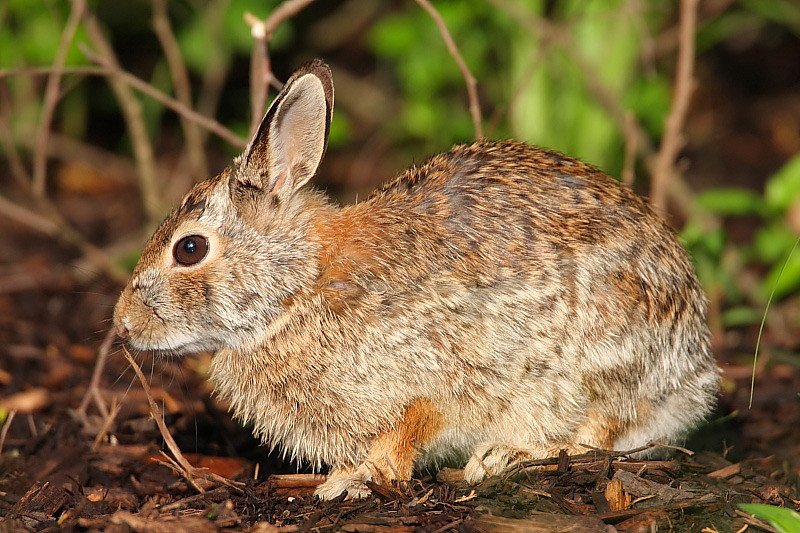 WL-021: Eastern Cottontail