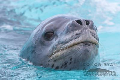 Leopard Seal |Hydrurga leptonyx