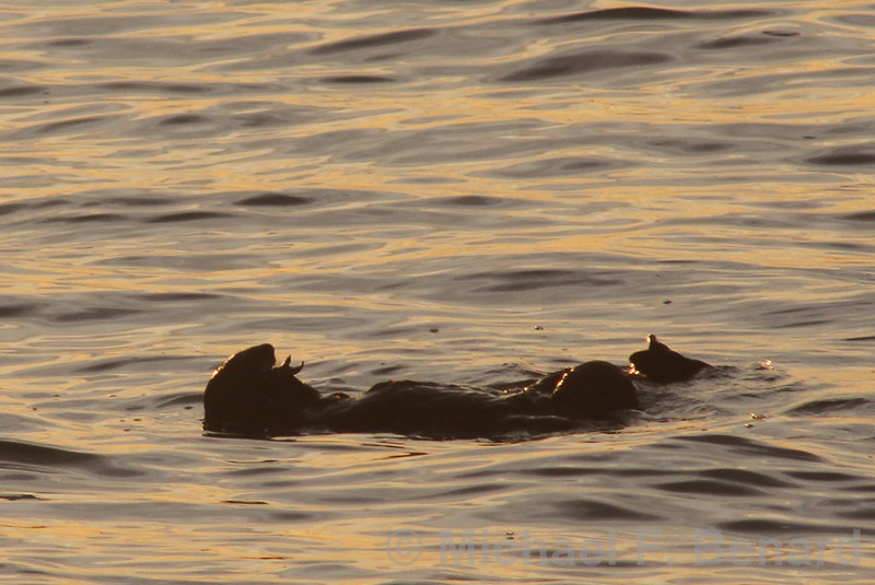 Sea Otter appears to be eating a starfish