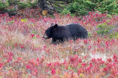 Male American black bear in autumn coastal heath habitat, south shore, nova scotia,canada,