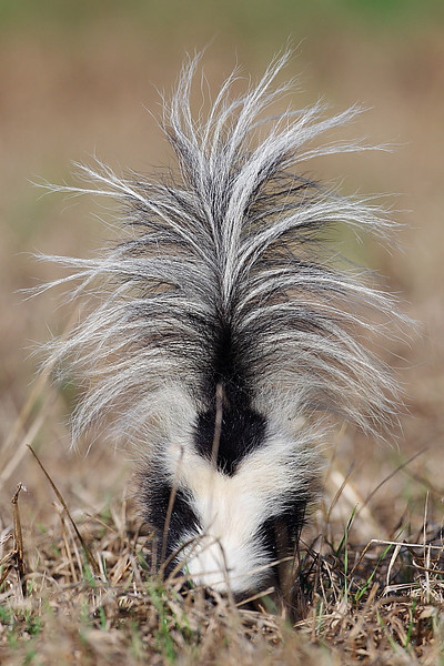 WL-033: Striped Skunk