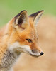 WL-008: Red Fox Kit
