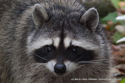 Northern Raccoon 3366
