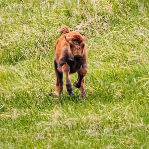 American Bison, Bison bison bison