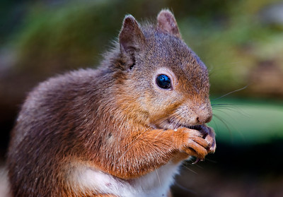 The red squirrel (Sciurus vulgaris) is a species of tree squirrel in the genus Sciurus common throughout Eurasia. The red squirrel is an arboreal, omnivorous rodent.