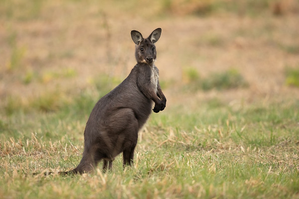 Eastern Wallaroo male