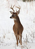 WL-124: Young Buck in Snow