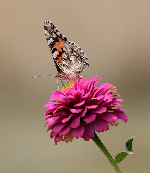 WL-112: American Painted Lady on Zinnia