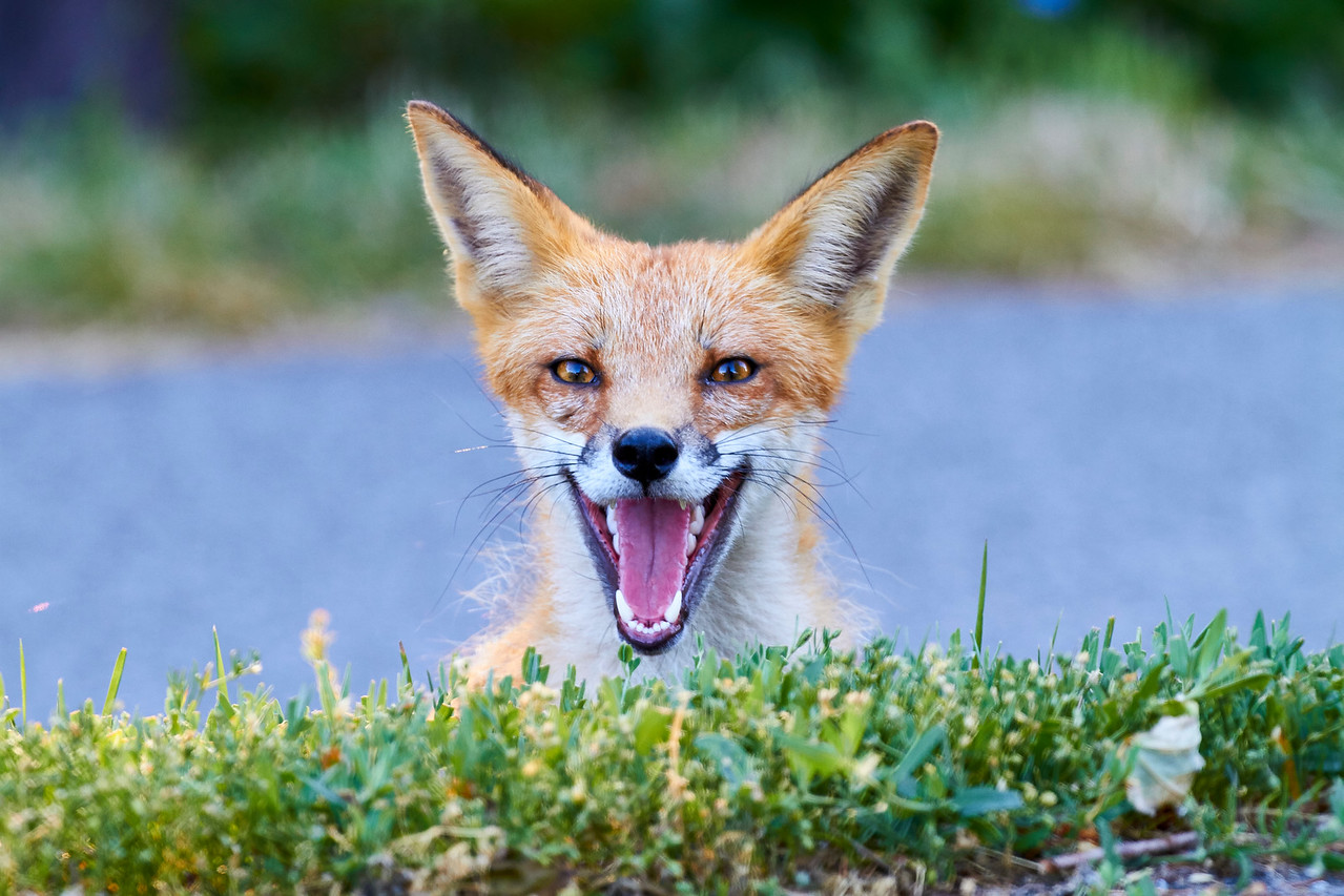 Mother Fox Yawn