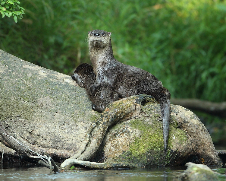 WL-123: Otter with Pup
