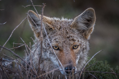 Coyote, Point Reyes National Seashore.