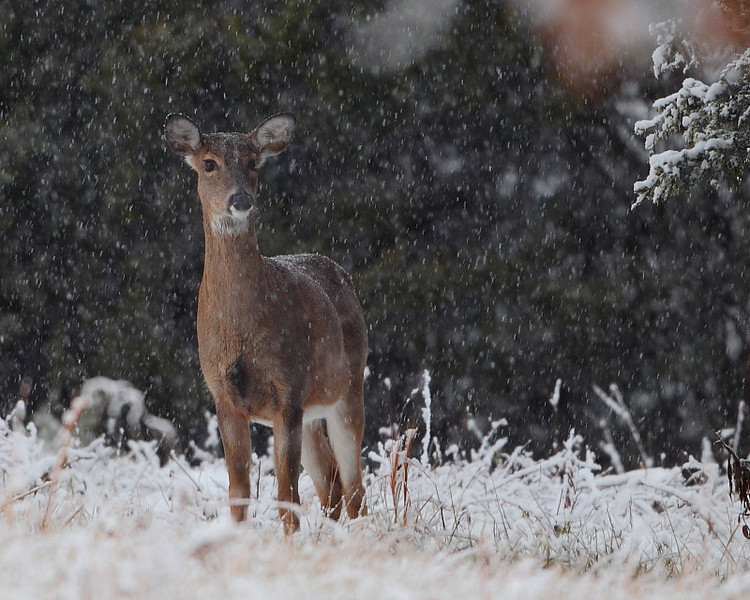 WL-079: White-tail Fawn in a Snowstorm