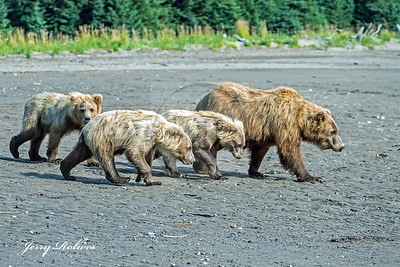 Mama grizz with cubs strolling