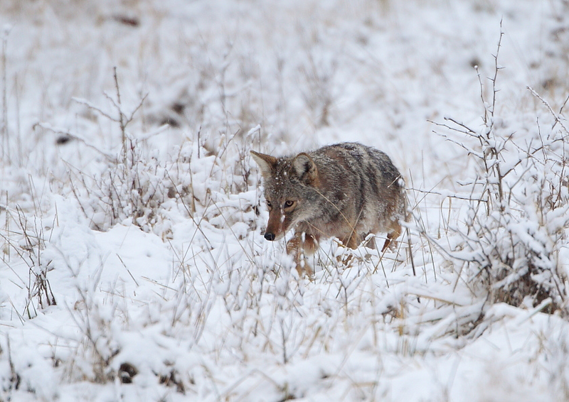 WL-144: Coyote Hunting in Snow