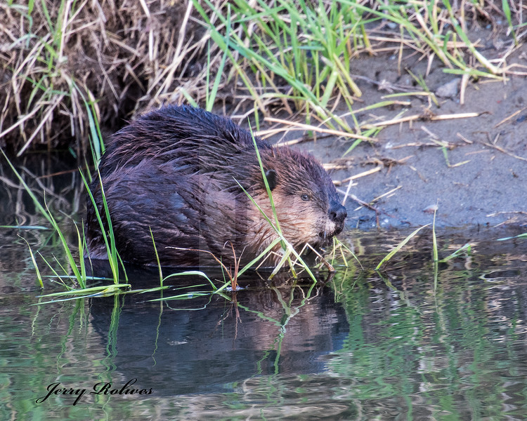 Beaver foraging in river