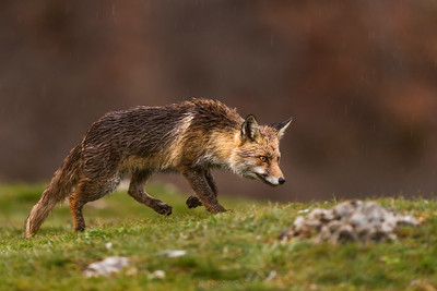 Fox - image taken in North of Spain