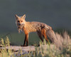 WL-093: Red Fox with Prey (Colorado)