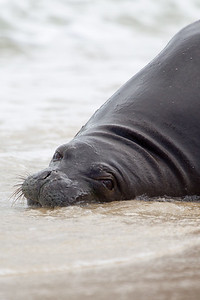 Hawaiian Monk Seal 5025