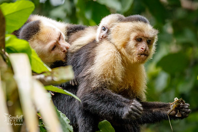 White faced capuchin monkey family