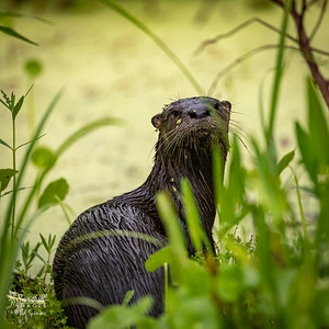 River otter wondering what I'm doing out in the rain!