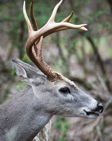 Male Whitetail Deer