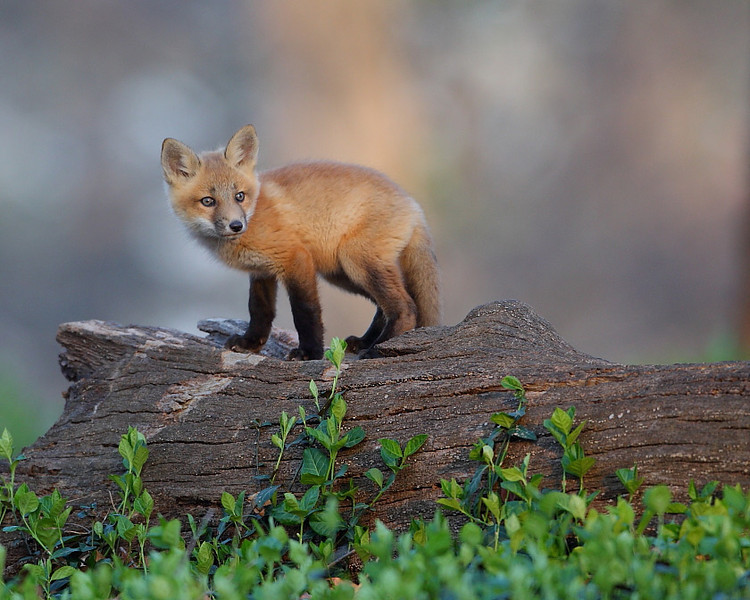 WL-083: Red Fox Kits