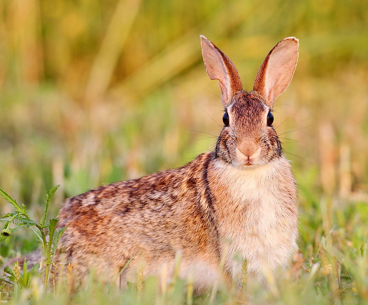 WL-075: Eastern Cottontail