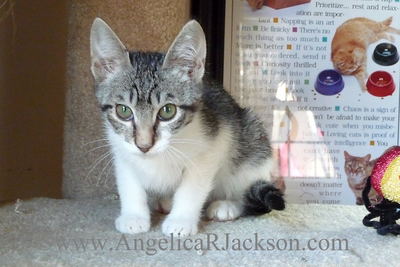 tabby_white_kitten_crouched