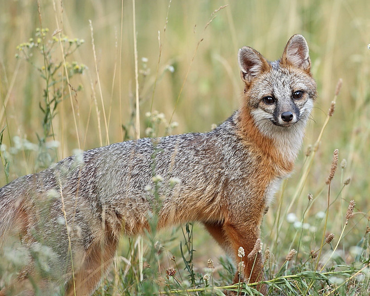WL-058: This is the mate of the other gray fox on my website.